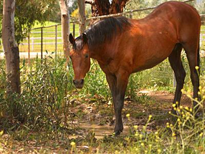 Secretariat (horse) - Wikipedia